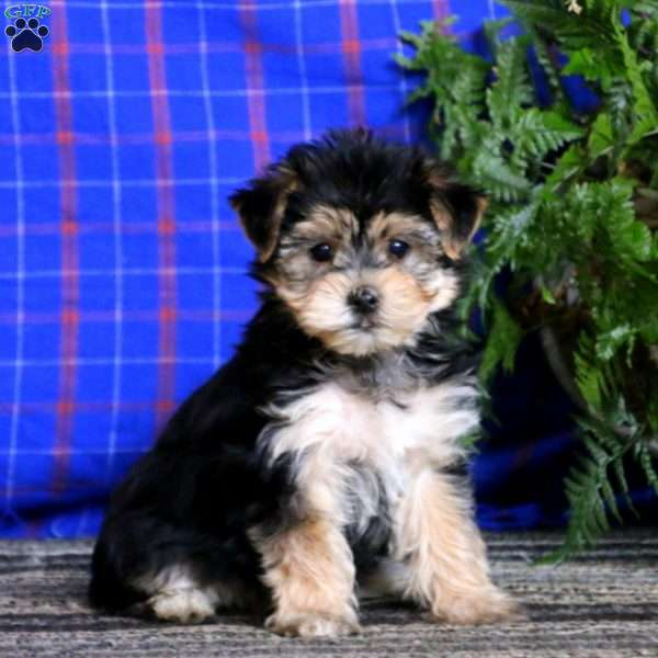 Morkie Puppies For Sale Yorktese Puppies Greenfield