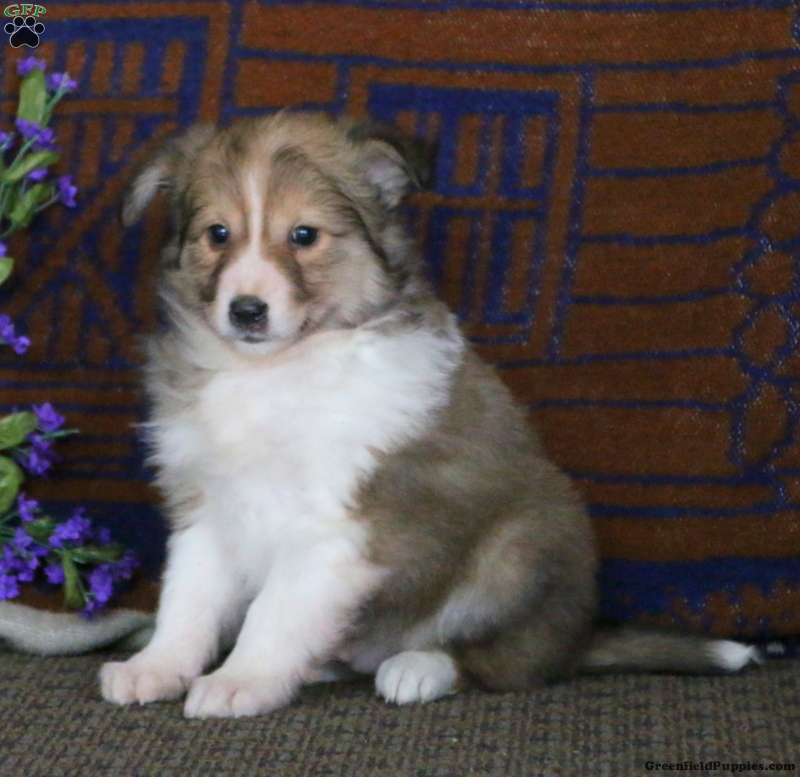Sheltie Mix Puppy For In Pennsylvania