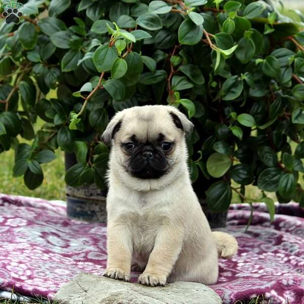 Chuckles, Pug Puppy