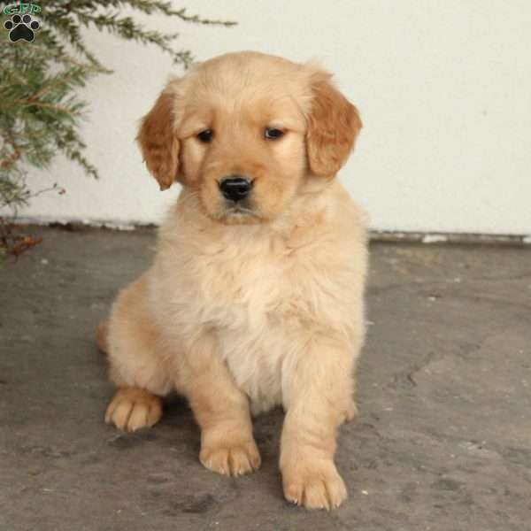 Cooper Golden Retriever Puppy For Sale In Pennsylvania