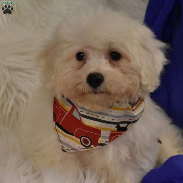 Tramp, Coton de Tulear Mix Puppy