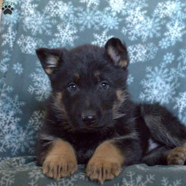 Dexter, German Shepherd Puppy