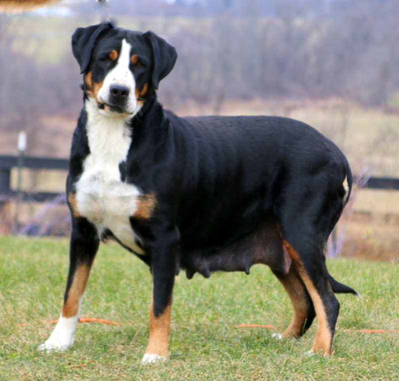 Marlee Greater Swiss Mountain Dog Puppy For Sale In