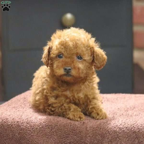 Lady, Toy Poodle Puppy