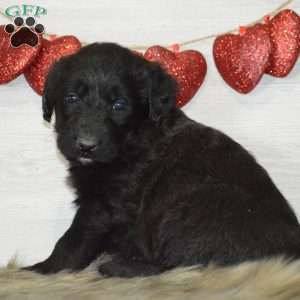 Shepadoodle Puppies For Sale Greenfield Puppies