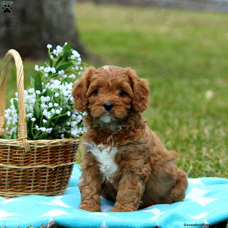 Cavapoo Puppies For Sale Cavapoo Dog Breed Info