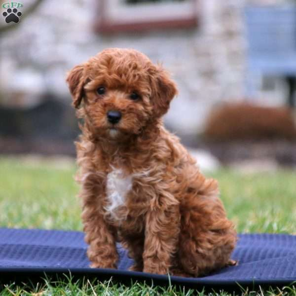 Pearl, Toy Poodle Puppy
