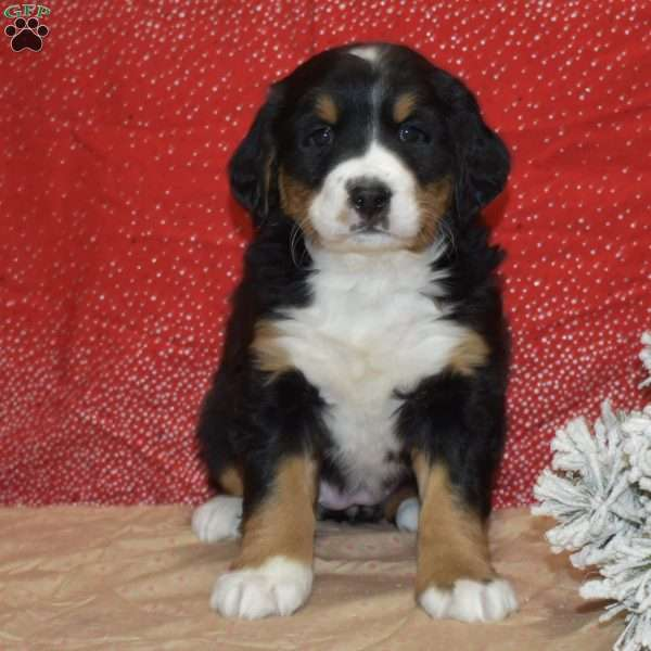 Shania Bernese Mountain Dog Puppy For Sale In Ohio