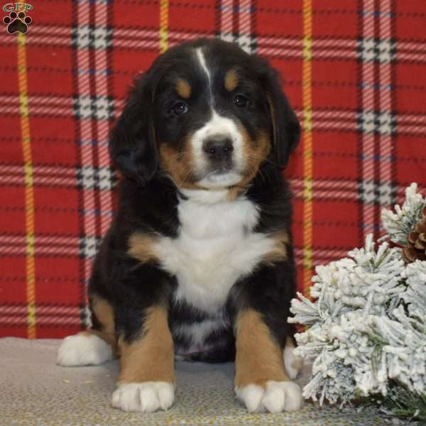 Susie Bernese Mountain Dog Puppy For Sale In Ohio