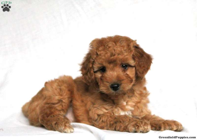 Miniature Poodle Puppies For Sale Mini Poodles