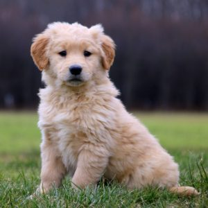 Current featured breed: Golden Retriever