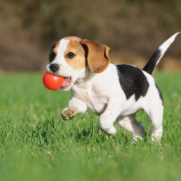 beagle puppy with a ball in their mouth running in the grass