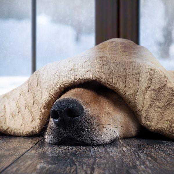 dog hiding under a blanket with only their nose sticking out