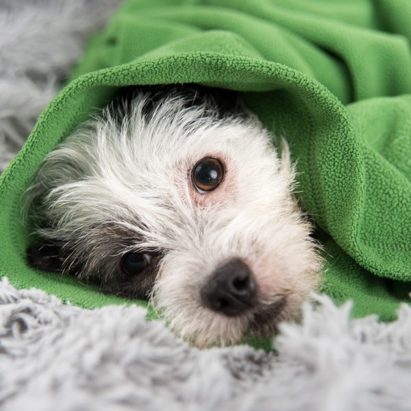 terrier mix wrapped in a green blanket