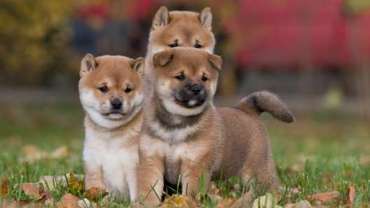 Shiba Inu Puppies For Sale Shiba Inu Breed Profile Greenfield Puppies