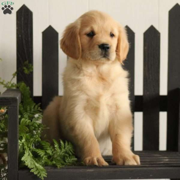 Abby Golden Retriever Puppy For Sale In Pennsylvania