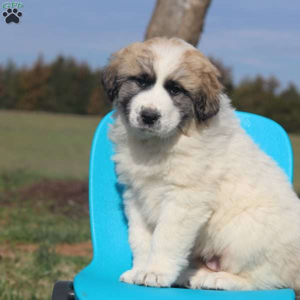 Ava Great Pyrenees Mix Puppy For
