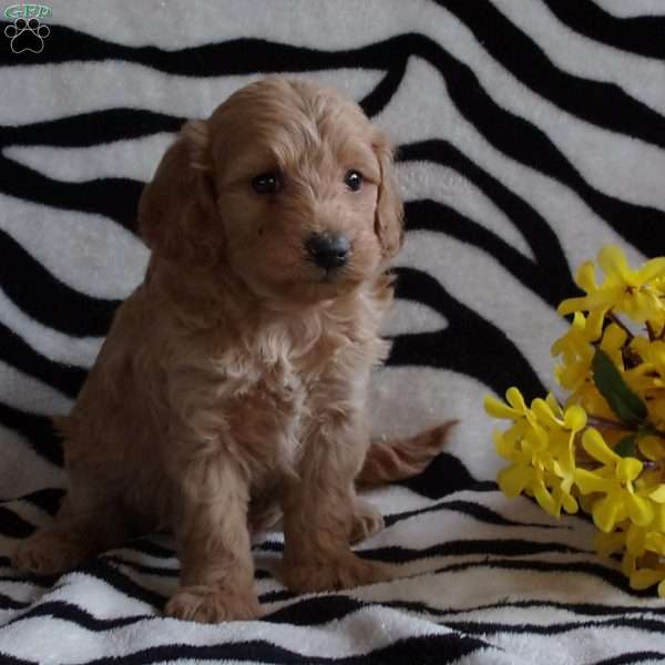 Becky, Mini Labradoodle Puppy