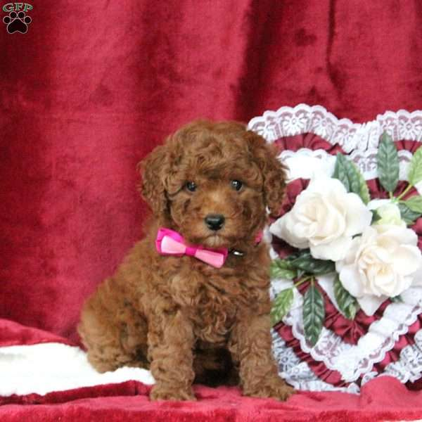 Carly, Miniature Poodle Puppy