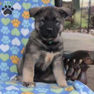 Norwegian Elkhound Puppies For Sale Greenfield Puppies