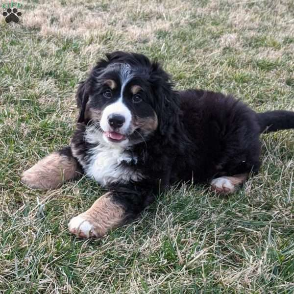 Lacy - Bernese Mountain Dog Mix Puppy For Sale in Finland