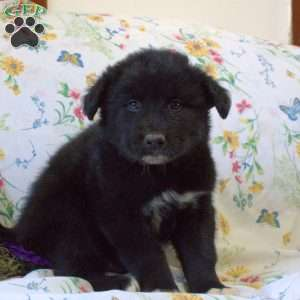 Newfoundland Mix Puppies For