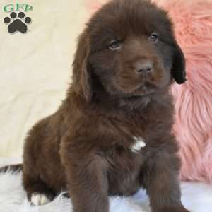 Newfoundland Puppies For Newfie