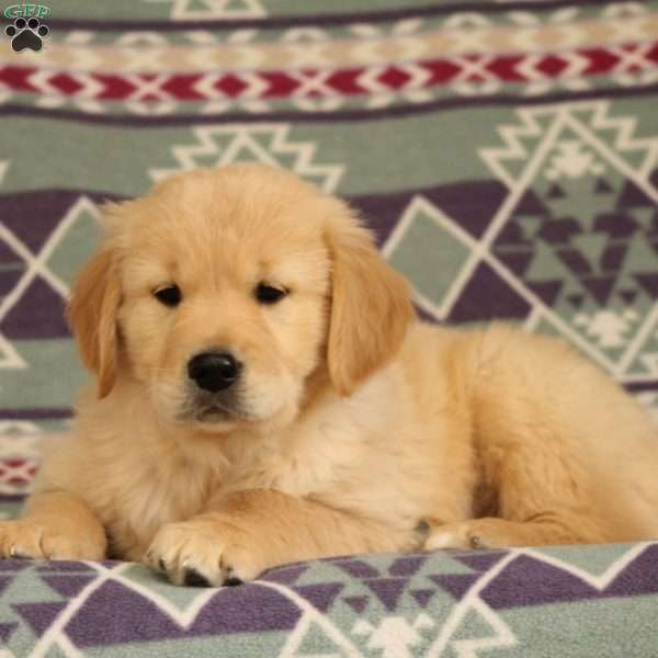 Mudslide Golden Retriever Puppy For Sale In Pennsylvania