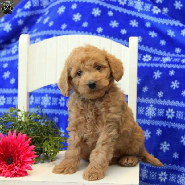 Pinkston, Mini Labradoodle Puppy