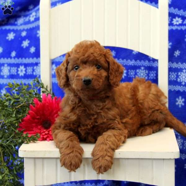 Poogie, Mini Labradoodle Puppy