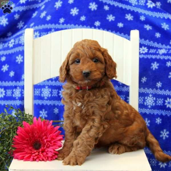 Promise, Mini Labradoodle Puppy