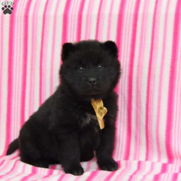 Chow Chow Mix Puppies for Sale