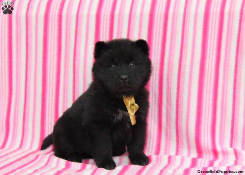 Chow Chow Mix Puppies For Sale Greenfield Puppies