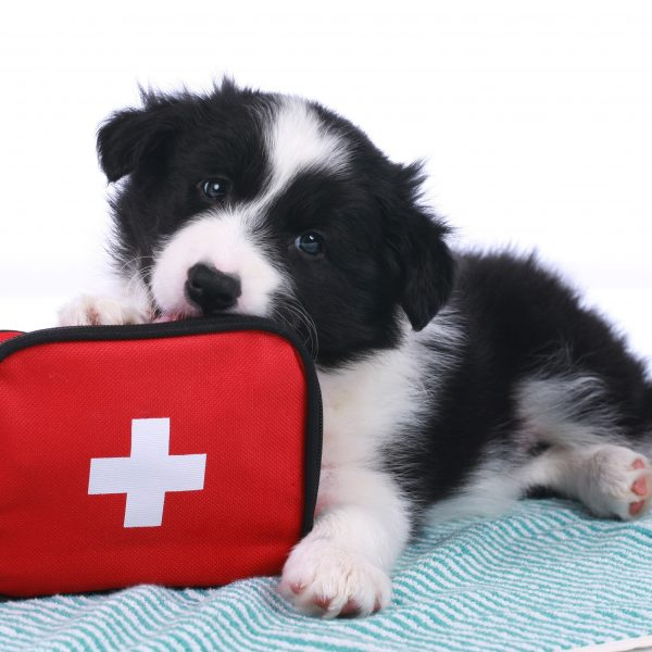 border collie puppy lying next to a first aid kit
