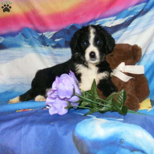 Teo - Bernese Mountain Dog Mix Puppy For Sale in Portugal