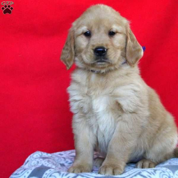 Ava Golden Retriever Puppy For Sale In Pennsylvania