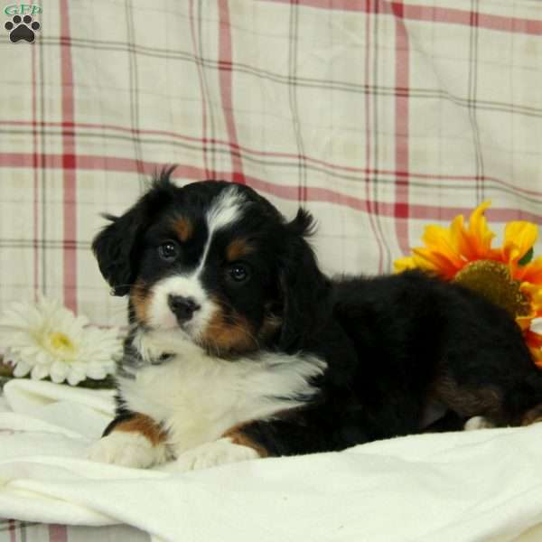 Betsy - Miniature Bernese Mountain Dog Puppy For Sale in Germany