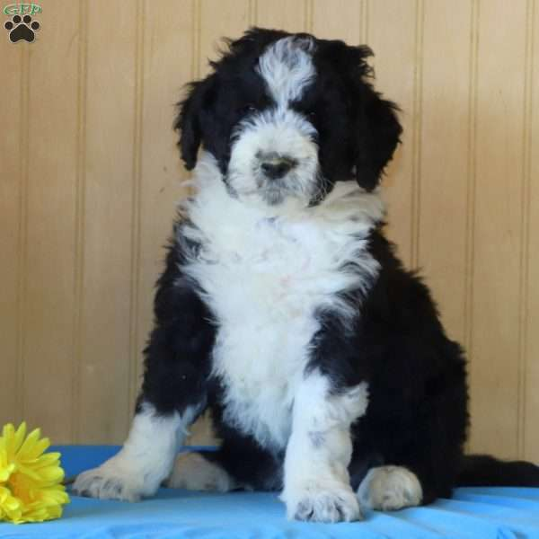 Bobby Bordoodle Puppy For Sale In Pennsylvania