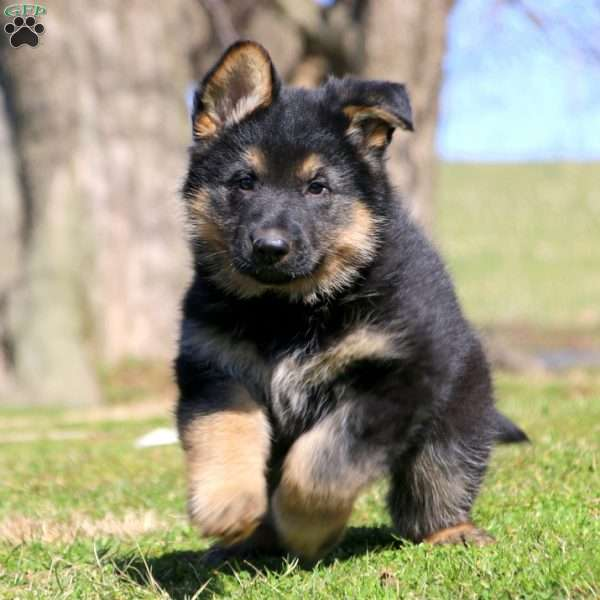 Puppies For Sale In Pa