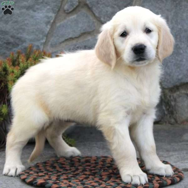 Fiona, English Cream Golden Retriever Puppy