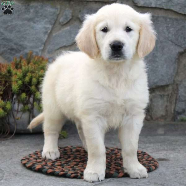 Flossie, English Cream Golden Retriever Puppy