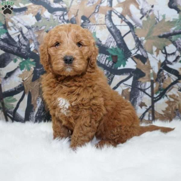 Hunter Mini Goldendoodle Puppy For