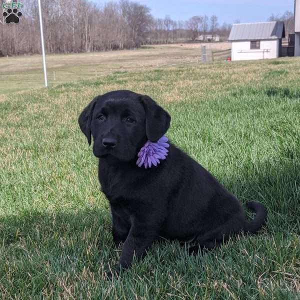 Jaimin, Black Labrador Retriever Puppy