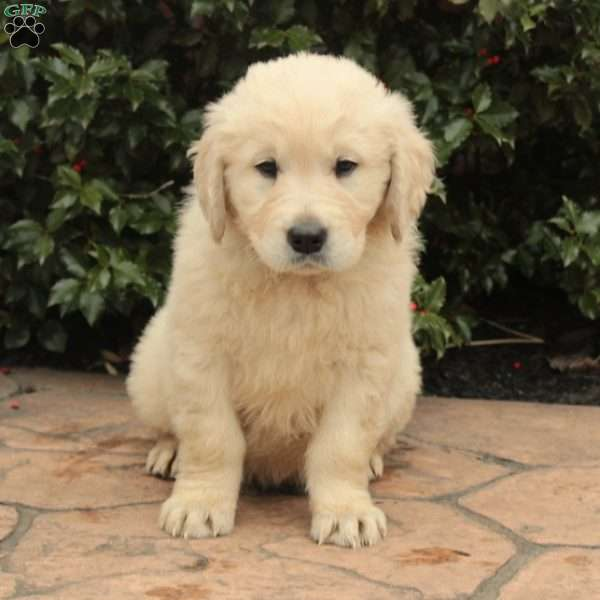 Jake, English Cream Golden Retriever Puppy