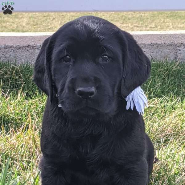 Jasmine, Black Labrador Retriever Puppy