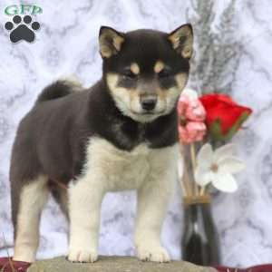 Shiba Inu Mix Puppies For