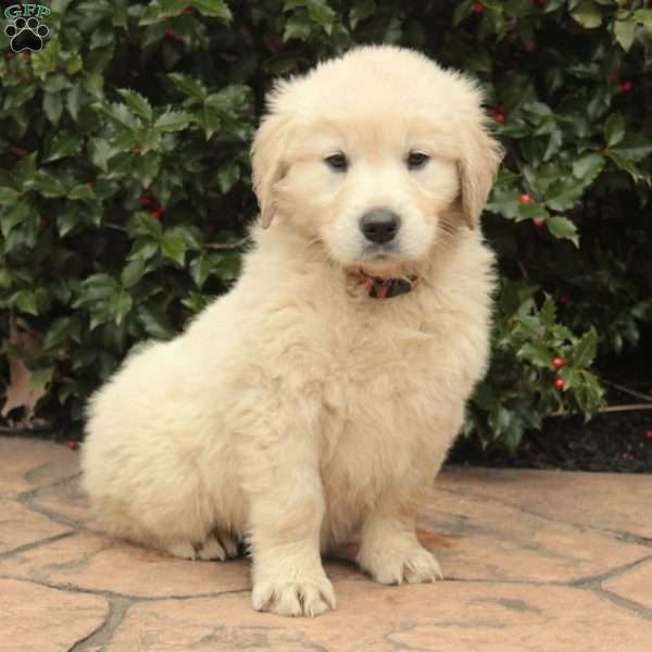 Jenni, English Cream Golden Retriever Puppy