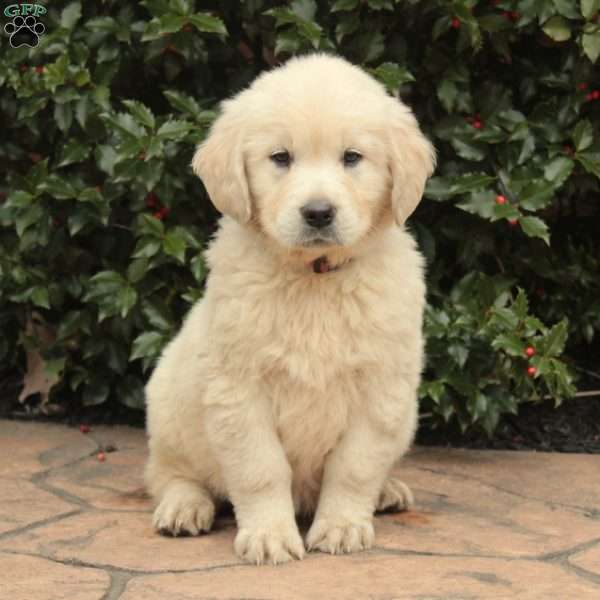 Jolly, English Cream Golden Retriever Puppy