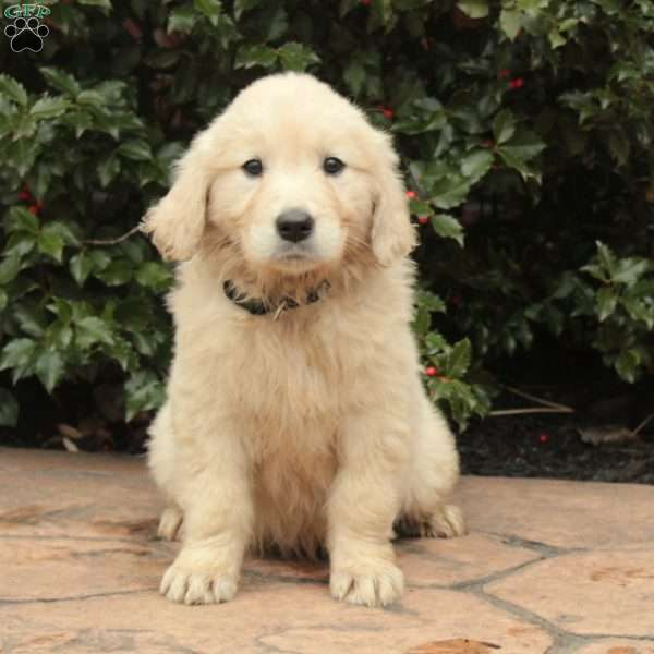 June Golden Retriever Puppy For Sale In Pennsylvania