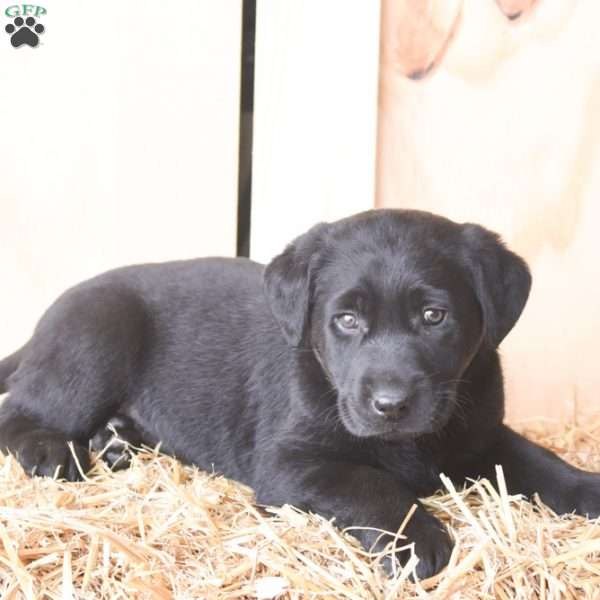 Kandy, Black Labrador Retriever Puppy